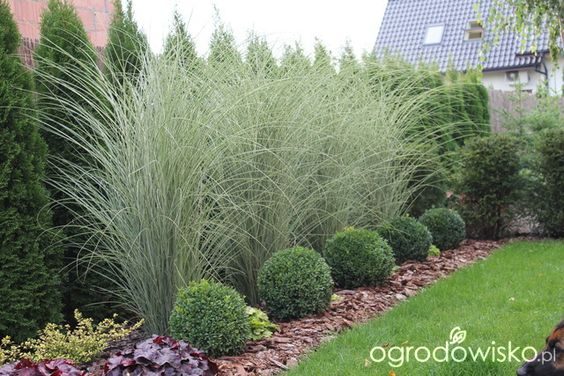 landscaping with tall grasses use tall grass to hide sparse cedar hedge